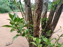 Árvore ascendente próxima crescida em uma área seca foto de stock