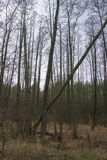 Árvore assustador na floresta Fotografia de Stock
