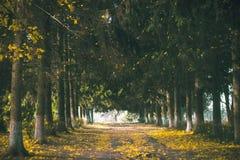 Árvore assustador na floresta Imagens de Stock