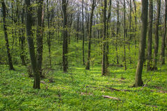 Árvore assustador na floresta Foto de Stock