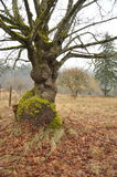 Árvore atada (macrophyllum de Acer) Fotos de Stock