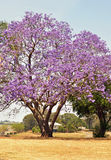 Árvore australiana do Jacaranda que floresce completamente de flores violetas roxas Fotos de Stock