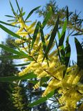 Árvore australiana do Wattle na flor Fotos de Stock