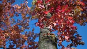Árvore Autumn Leaves da bolota, 4K, UHD vídeos de arquivo