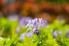 A árvore azul da flor com fundo do borrão imagem de stock