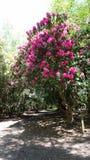 Árvore bonita da mola e parque preto da aleia, Reino Unido Fotografia de Stock