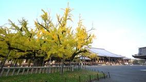 Árvore bonita da nogueira-do-Japão que transforma no amarelo filme