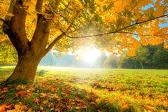 Árvore bonita do outono com as folhas secas caídas Imagem de Stock Royalty Free