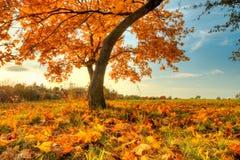 Árvore bonita do outono com as folhas secas caídas Imagem de Stock
