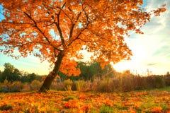 Árvore bonita do outono com as folhas secas caídas Fotos de Stock Royalty Free
