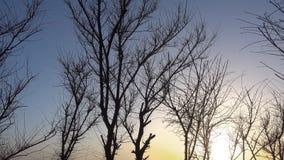 Árvore bonita do por do sol e do inverno sem folhas em um vento video estoque