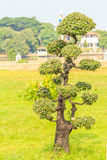 Árvore bonita dos bonsais Fotografia de Stock Royalty Free