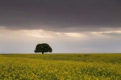 Árvore bonita em um campo da violação fotografia de stock royalty free
