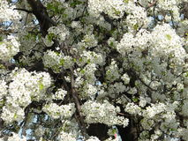 Árvore branca Imagens de Stock Royalty Free