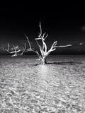 Árvore branca Imagens de Stock