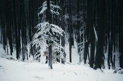 Árvore branca com neve na floresta escura do inverno Foto de Stock