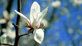 Árvore branca de florescência da magnólia com flores filme