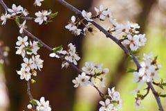 Árvore branca de florescência na mola - jardim da primavera ou pomar de Imagem de Stock