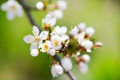 Árvore branca de florescência na mola - jardim da primavera ou pomar de Fotos de Stock
