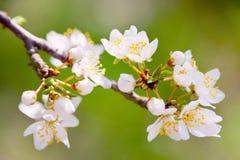 Árvore branca de florescência na mola - jardim da primavera ou pomar de Fotos de Stock Royalty Free