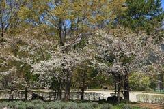 Árvore branca de sakura Imagem de Stock