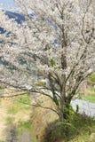 Árvore branca de sakura Foto de Stock Royalty Free