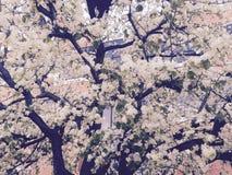 Árvore branca de sakura fotos de stock