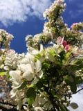 Árvore branca e cor-de-rosa da flor foto de stock royalty free