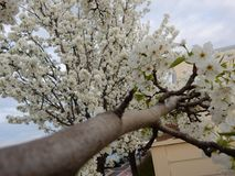 Árvore branca e verde da flor fotos de stock royalty free