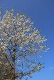 Árvore branca pura de Cherry Flowers Blooming With Budding fotografia de stock royalty free