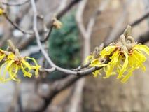 Árvore côr de avelã de bruxa com flores amarelas foto de stock