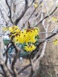 Árvore côr de avelã de bruxa com flores amarelas fotografia de stock