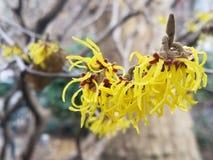Árvore côr de avelã de bruxa com flores amarelas imagens de stock