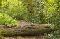 Árvore caída Imagens de Stock