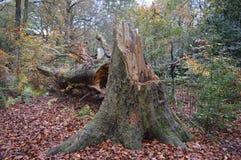 Árvore caída Foto de Stock Royalty Free