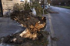 Árvore caída após a tempestade do vento Imagens de Stock
