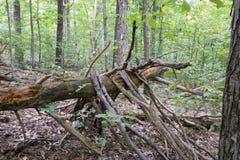Árvore caída com membros imagens de stock royalty free