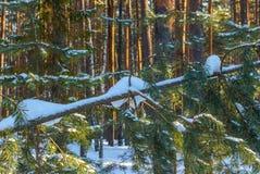 Árvore caída com neve no tronco Floresta conífera Fotos de Stock Royalty Free