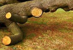Árvore caída e de-limbed Imagens de Stock