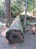 Árvore caída muito alta ao longo de uma fuga no parque de Helliwell, ilha de Hornby foto de stock