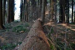 Árvore caída nas madeiras Forest With Branches Coming Off Fotografia de Stock