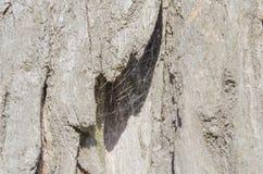 Árvore Casca de madeira E nave r Textura de madeira Texturas naturais Fundo Backgrou de madeira fotos de stock