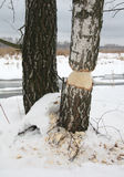 Árvore - castor ambicioso Imagem de Stock Royalty Free
