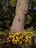 Árvore cercada por açafrões dourados Fotos de Stock