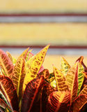 Árvore colorida do Croton Fotos de Stock