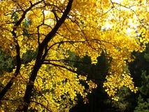 Árvore colorida do outono Foto de Stock Royalty Free
