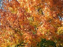 A árvore colorida do outono sae no parque, Lituânia fotos de stock