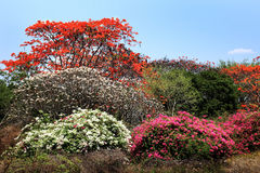 Árvore colorida em Chiang Mai, Tailândia Fotos de Stock