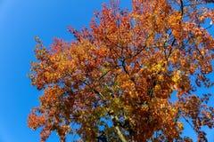 Árvore colorida na queda Imagens de Stock Royalty Free