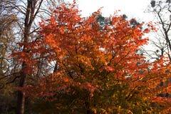 Árvore com amarelo brilhante às folhas alaranjadas e vermelhas foto de stock